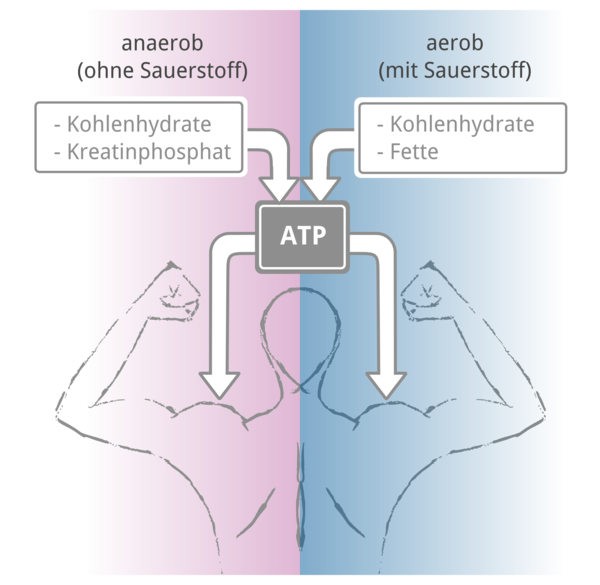 Energiebereitstellung für die Muskeln - Rückenansicht vom menschlichen Körper mit angespannten Bizeps, ATP