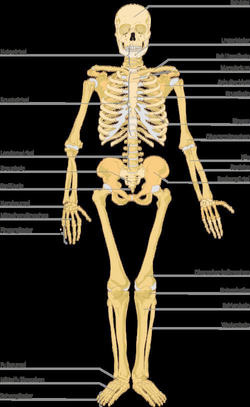 menschliches Skelett mit Beschreibung der Knochen